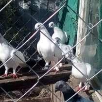 Голуби, в Белореченске