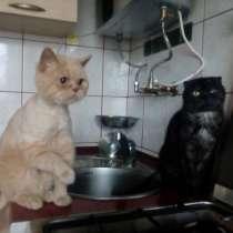 Британский кот лиловый на вязку, в г.Львов
