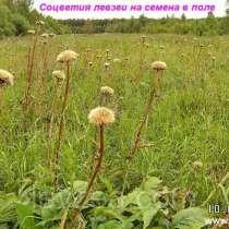 Левзея семена на 20 соток - 40 000 шт. Интернет-магазин, в Архангельске