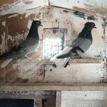 Продам голубей, в Новомосковске