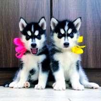 Красивые черно-белые щеночки хаски, в Вязьме
