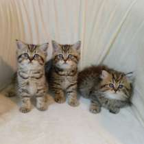 Шотландские котята, в г.Арад