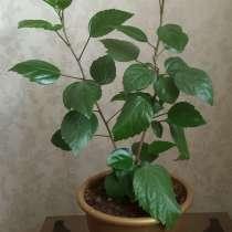 Гибискус (китайская роза), в Нижнем Тагиле