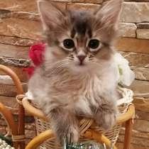 Сомалийские котята, в г.Рига