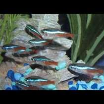 Аквариумная рыба Неон, в Балашихе