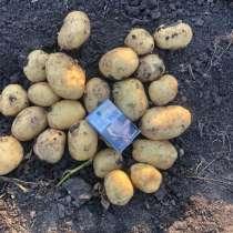 Картофель, в Гулькевичах