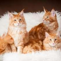 Питомник кошек породы мейн-кун Diamond Rush, в Таганроге