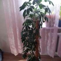Продам отростки шефлера и денежного дерева, в Иркутске