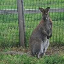 Предлагаем к продаже кенгуру беннета, в Липецке