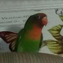Продам попугая, в Балашове
