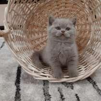 Продаются британские котята, в Благовещенске