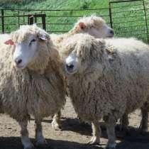Племенные овцы Линкольн (Скот из Европы), в Красноярске