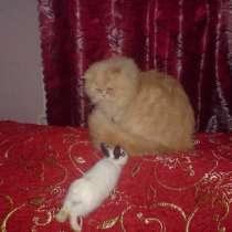 Персидский кот приглашает на вязку, в Москве