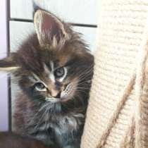 Продажа котят мейн-кун, в Омске