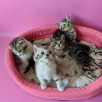 Шотландские мраморные котята, в г.Гродно