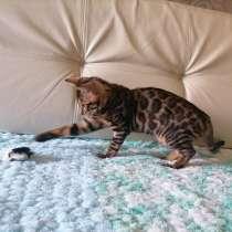 Продаются бенгальские котята, в г.Минск