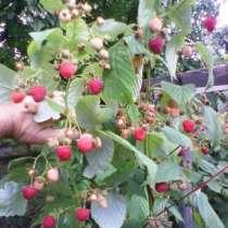 Продам малину свежую ягоду Луганске, созревает 1,5 кг в день, в г.Луганск