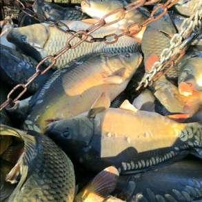 Живая рыба карп, толстолоб, в Рязани