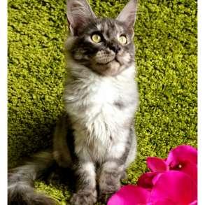 Мейн-кун котята, в Москве