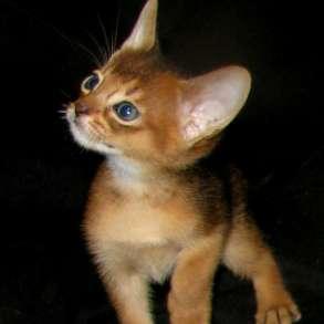 Абиссинские котята Питомник абиссинских кошек sunnybunny. by, в г.Кобрин