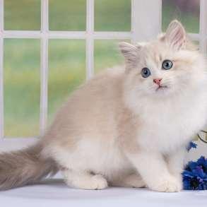 Невский маскарадный котик, в Санкт-Петербурге