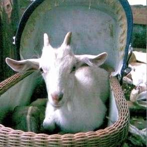 Продам козу, козье мясо, в Жуковском