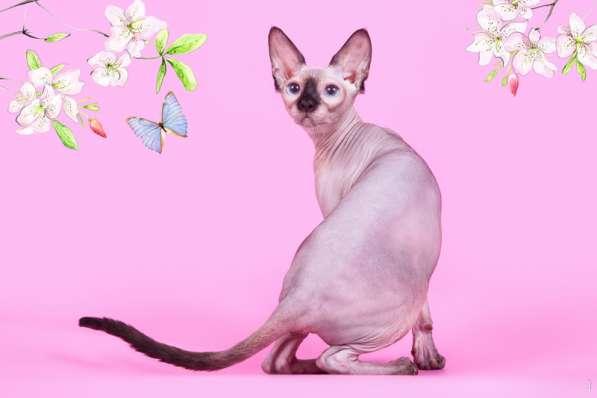 Котёнок сфинкс - маленький талисман. в Екатеринбурге фото 7