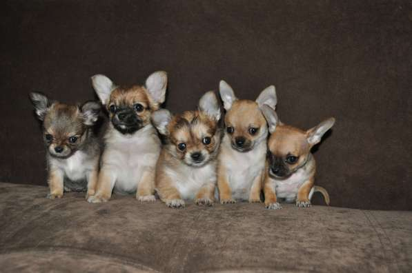Породные щенки чихуахуа