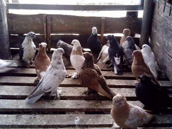 Голуби. Узбеки, птица гонная с игрой, есть почтари в Воронеже фото 4