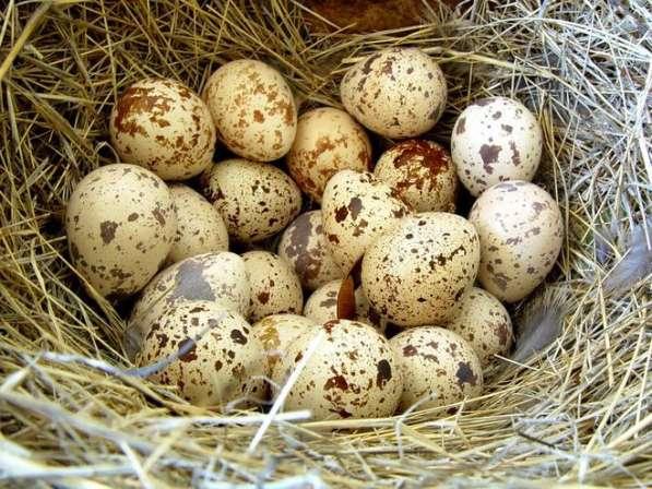 Яйцо перепелов