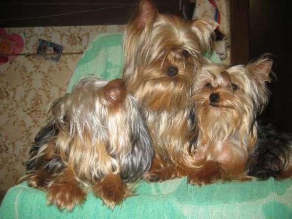 Йоркширские терьеры щенки и взрослые.