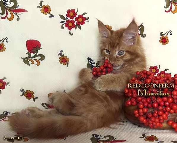 Котята мейн кун красные в Москве фото 10