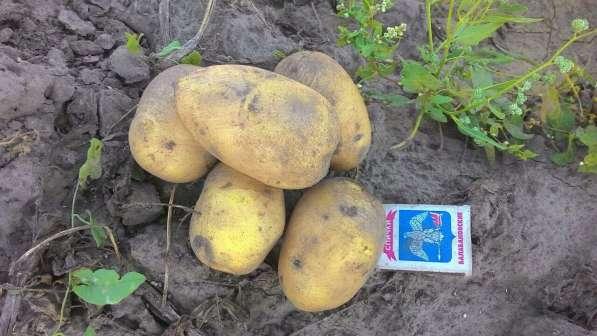 Картофель продовольственный и семенной, от 20т. Брянская обл