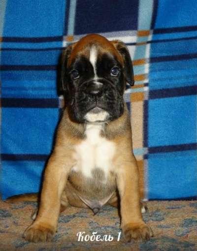 Немецко Боксера щенок с импортные крови