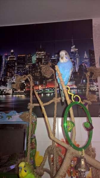 Волнистые попугаи-Самцы от 2х лет