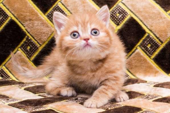 Чистокровный британскии котенок