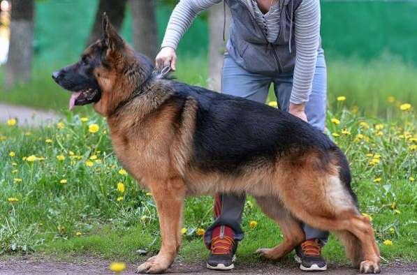 Предлагаю щенков немецкой овчарки
