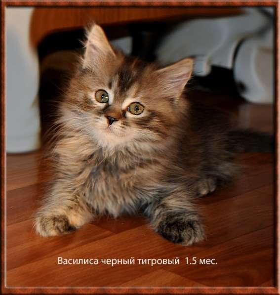 Сибирская кошечки