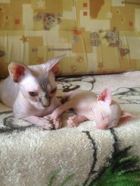 Сфинксята-котята