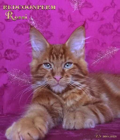 Котенок мейн кун красный солид. Шоу класс в Перми фото 6