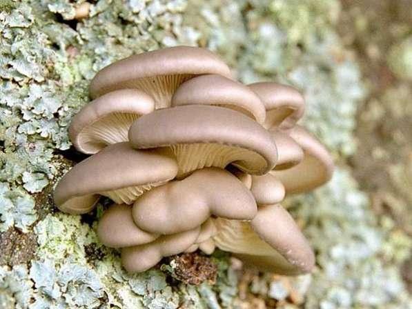 Мицелий грибов почтой!