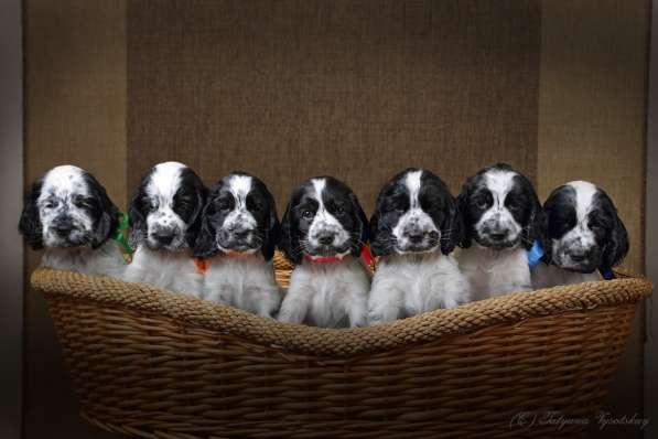 Чудесные щенки английского кокер-спаниеля ждут вас в Перми фото 3