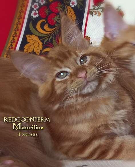 Котята мейн кун красные в Москве фото 11
