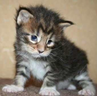 Котят Мейн-кун питомник Maloyar