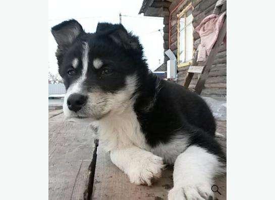 отдам щенка в Воткинске фото 3