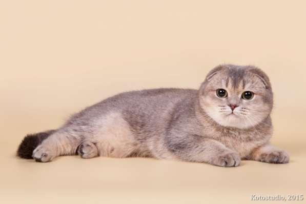 Голубая золотая тикированная кошка - на продажу