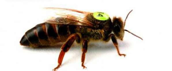 Пчеломатки среднерусские