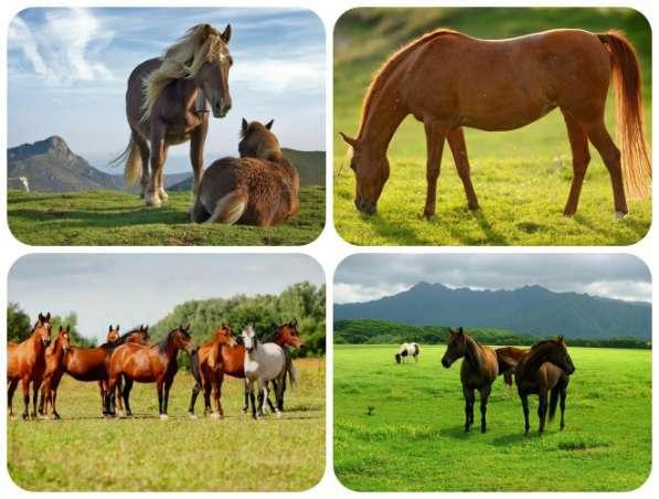 Куплю лошадей жеребят живым весом в беларуси
