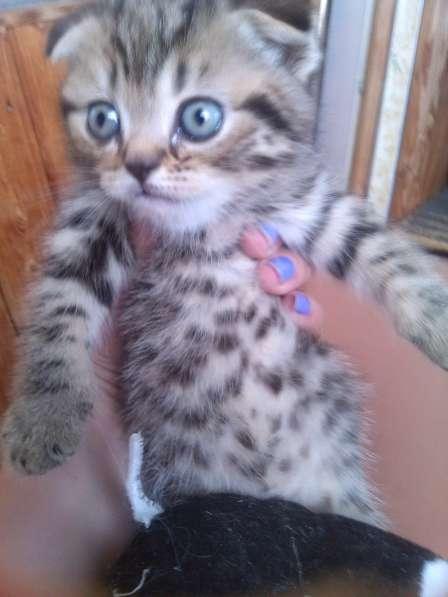 Продаются британские котятки!!! в Самаре фото 3