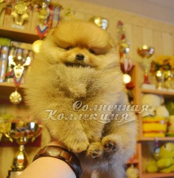 Продаются щенки шпица в медвежьем типе светлого окраса
